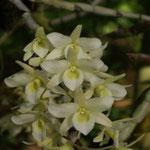 Dendrobium specie Thailand 10,00 €