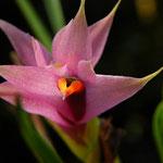 Dendrobium violaceum 24,00 €