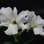 Dendrobium sanderae var luzonica 25,00 €