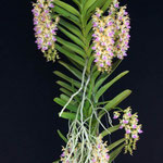 Aerides houlletiana 34,00 €