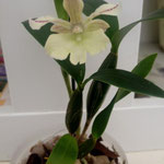 Dendrobium Nora Tokunaga x abberans 15,00 €