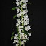 Dendrobium Star Class 12,00 €