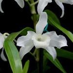 Dendrobium nobile var alba 15,00 €