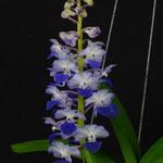 Rhynchostylis blue 55€