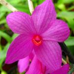Dendrobium sulawesiense 20,00 €
