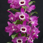 Dendrobium Star Sapphire `Pink` 12,00 €