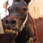 Naëlle Wurlod, Jean-Marc Hediger (J'ai cru que le mulet était un croisement entre un âne et un cheval.... Mais celui-là ... c'est entre un dromadaire et un cheval....mdr).