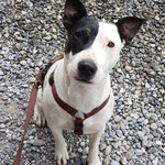 Bullterrier mix Lotti