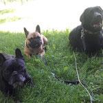 French Bullys, Kayla und Mylo mit Freund Bobby