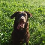 Labrador-mix Mocca