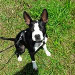American Staffordshire Terrier Zizou