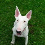 Bullterrier Geronimo
