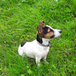 Jack Russel Terrier Chili