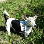 Jack Russell Terrier Lupo