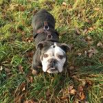 Englische Bulldogge Wilma