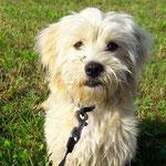 Terrier Mischling Teddy