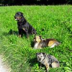 Rottweiler Janusch, Sheltie Mike und Border Terrier Hündin Ilo