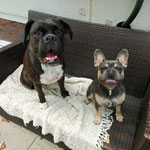 Boxer Asta und French Bully Miro
