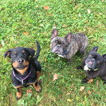 Rottweiler Welpe Chica mit Bully Ike und Daisy