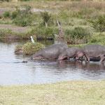 Los hipopótamos en la charca del Keekorok Lodge