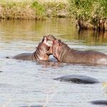 Kenya. Hipopótamos keerokok