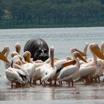 Kenya. Nakuru. Flamencos e hipopótamos
