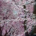 桜三月(海軍道路)W22.0×H27.3