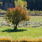 mouton à Noyers