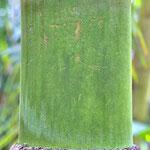 Wolfgang Kösling: Palmenstamm