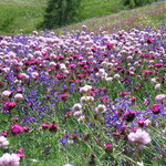 fioritura prati Vénoz Nus Saint Barthélemy-www.maisonmarcel.jimdo.com