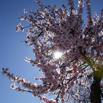 Mandelblüte im März