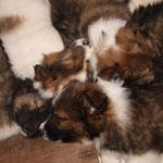 vier Zwergen-Köpfe, Cherina, Cashira, Carinjo und Cailin