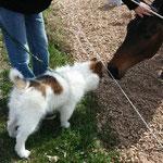 Chantico lernt Pferde kennen