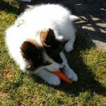 Chantico genießt das Möhrchen im Garten