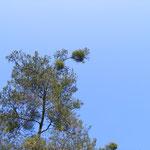 Kiefernmistel schädigen die Baumkrone