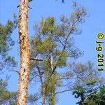 Kiefernmistel - geschädigter Baum