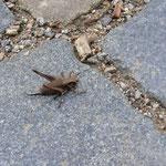 Gemeine Strauchschrecke