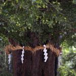 熊野速玉大社 なぎの木