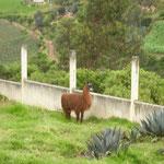 Das erste Lama