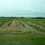 Vigne pour la production du pineau