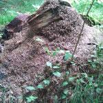 Ameisen bewachen den Cache