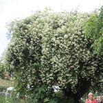 蔓バラの大きな茂み