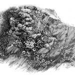 岩場の植物 三浦半島、和田長浜あたり。