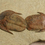 Fotografía: Russell Jacobson. (Ejemplar junto a otro trilobite de la especie Asaphellus fezouataensis. Formación Fezouata inferior. Ordovícico inferior, Beni Zoli, Valle del Draa).