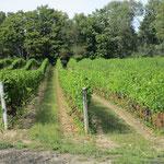 Weinanbau im Prince Edward County.