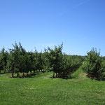 """Das """"Alte Land"""" von Ontario. Obstplantagen und teilweise sogar Weingüter."""
