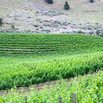 Weinanbau in Kanada. Ich konnte nichts probieren.  Aber die Blätter sehen mir nach Cardonnay aus ;-).