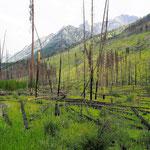 Hier hatte es 1993 (!!!) gebrannt. Solange braucht die Natur, sich zu erholen. Allerdings sind die Waldbrände ein wichtiger Bestandteil im natürlichen Kreislauf.