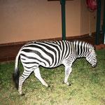 In der Lodge, Zebra