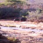 Flusspferd mit Kind am Tsavo River